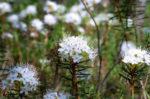 Багульник болотный лечебные свойства и противопоказания, фото