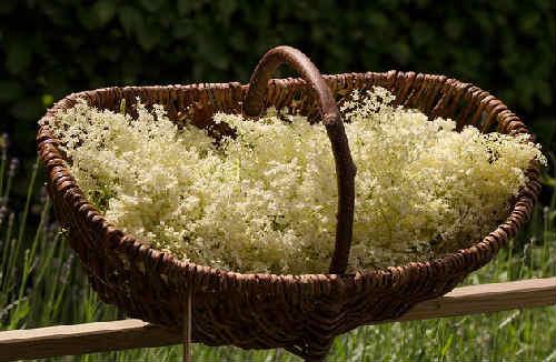 Buzina chernaja lechebnye svojstva i protivopokazanija2
