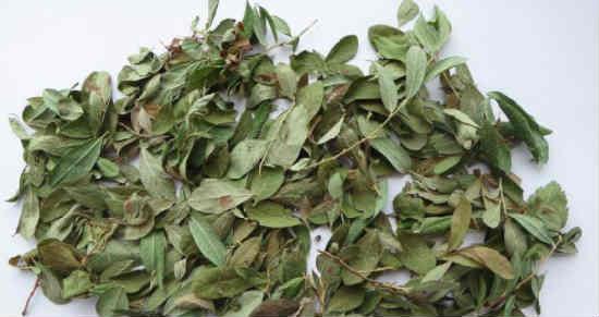 List'ja brusniki lechebnye svojstva i protivopokazanija4