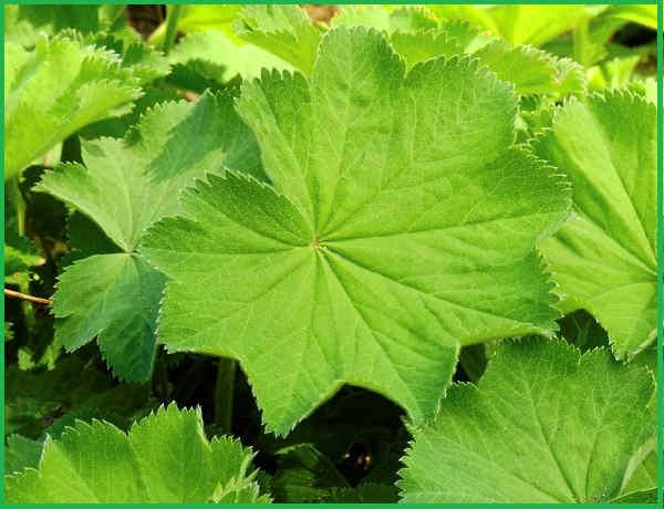 Manzhetka lechebnye svojstva i protivopokazaniya2-1