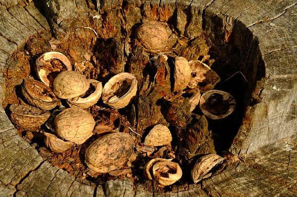 Скорлупа грецкого ореха от зубного камня эффективные рецепты